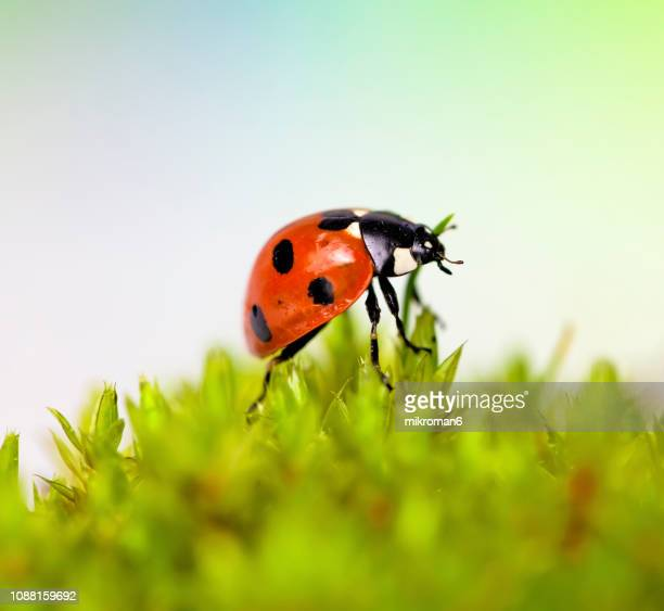 ladybirds natural environment - seven spot ladybird stock pictures, royalty-free photos & images