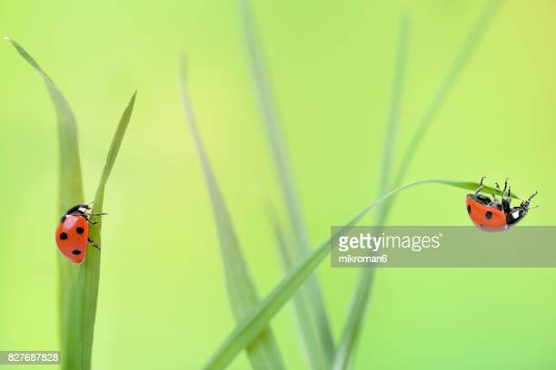 ladybirds on grass - invertebrate stock photos and pictures