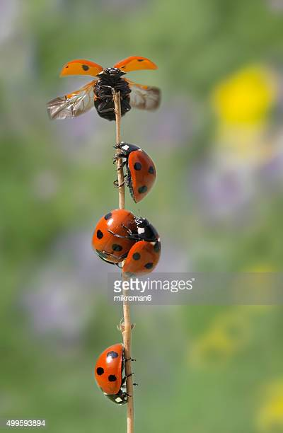 ladybirds - seven spot ladybird stock pictures, royalty-free photos & images