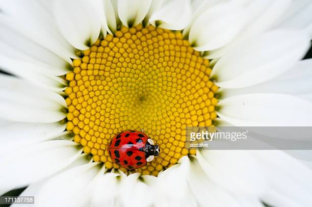 ladybug and daisy - spotless nine spotted ladybug stock pictures, royalty-free photos & images