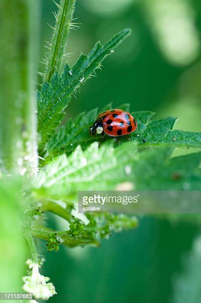 ladybug and nettle - spotless nine spotted ladybug stock pictures, royalty-free photos & images