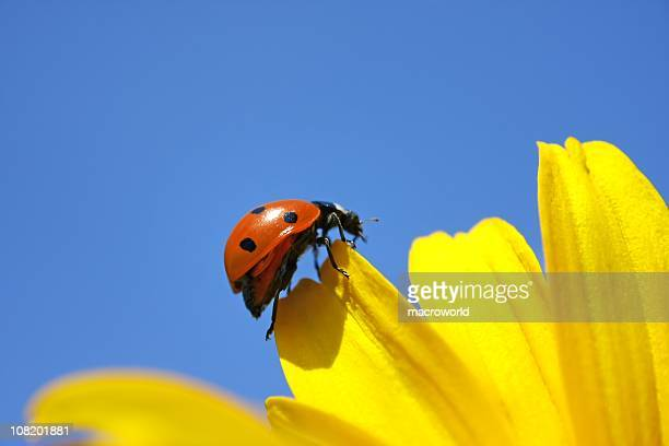 ladybug climbing on the yellow flower - ladybug stock pictures, royalty-free photos & images