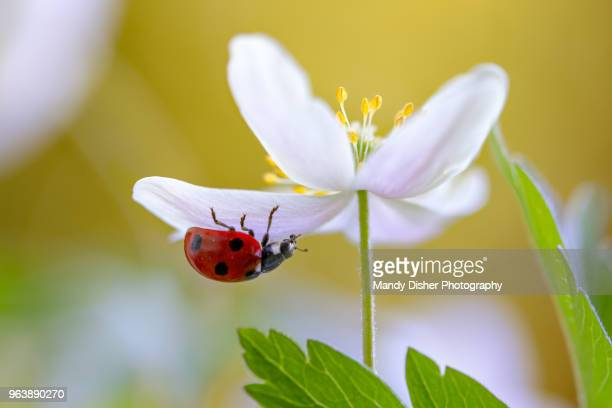 ladybug climbing on wood anemone - mandy pritty stock pictures, royalty-free photos & images