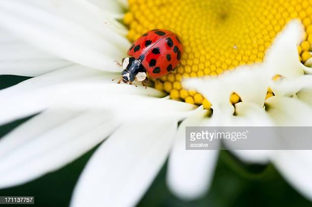 ladybug crawls - spotless nine spotted ladybug stock pictures, royalty-free photos & images
