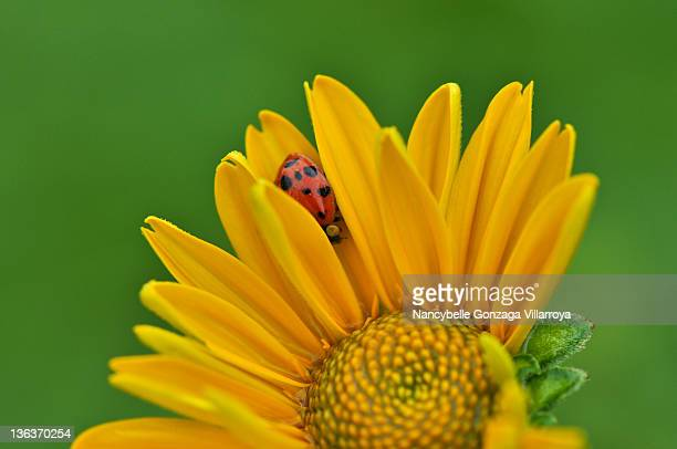 ladybug hiding in yellow flower - nancybelle villarroya stock photos and pictures