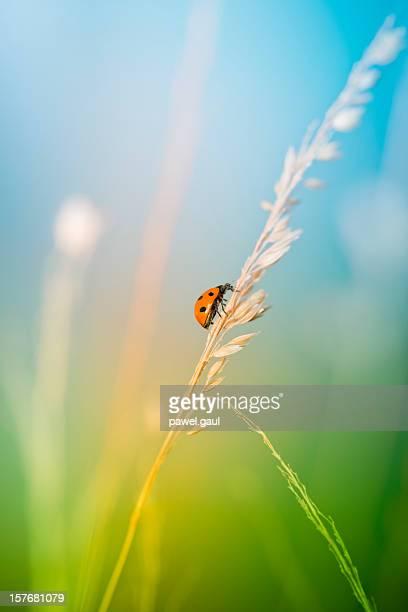 Marienkäfer in Wiese auf wild grass