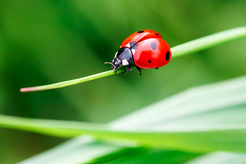 Ladybug in the green grass 893470324