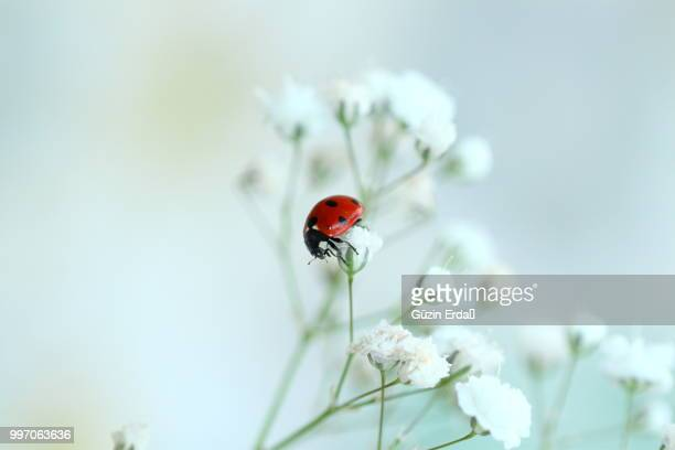 ladybug in white - ladybird stock pictures, royalty-free photos & images