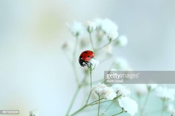 Ladybug in White
