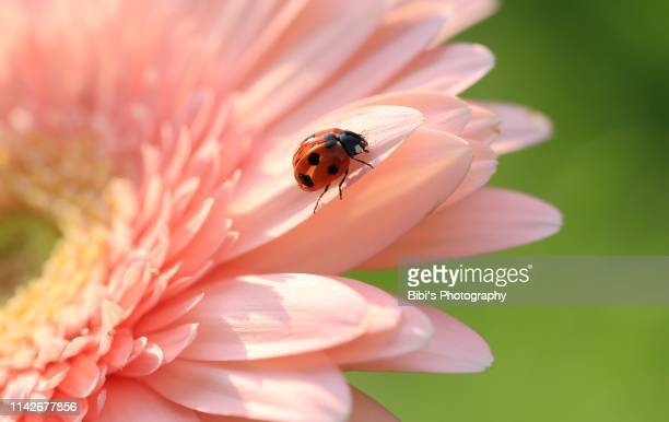 ladybug is ready to fly - symbiotic relationship stock pictures, royalty-free photos & images