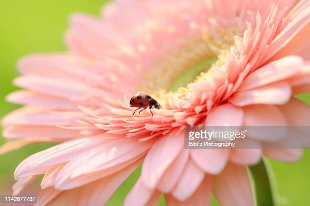 a ladybug is working on a pink flower - symbiotic relationship stock pictures, royalty-free photos & images