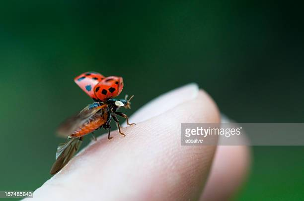 ladybug just before flying away from fingertip - seven spot ladybird stock pictures, royalty-free photos & images