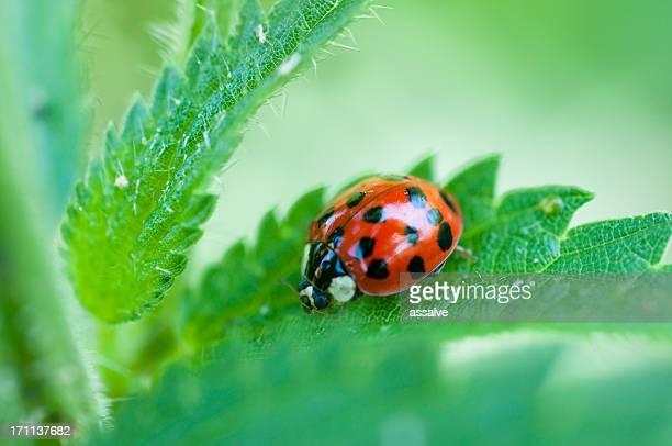 ladybug macro shot - spotless nine spotted ladybug stock pictures, royalty-free photos & images