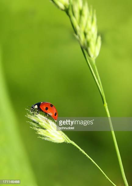 Marienkäfer auf dem Grashalm