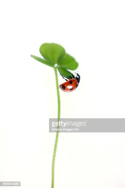 Ladybug on a clover leaf