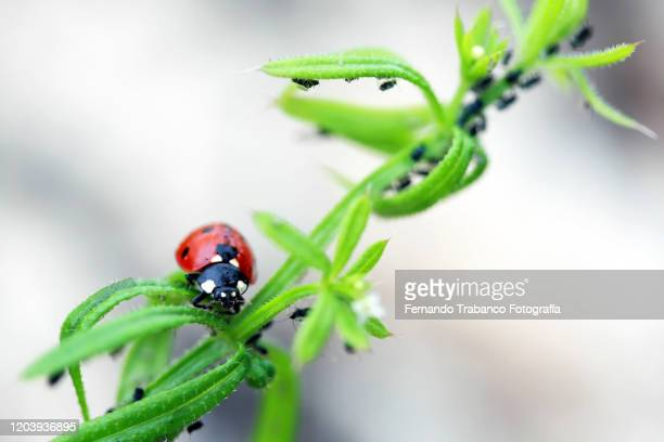 ladybug on a plant - aphid stock pictures, royalty-free photos & images