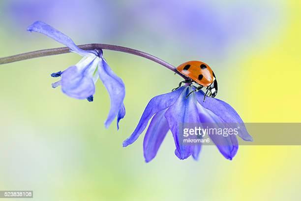 Ladybug on blue wildflower