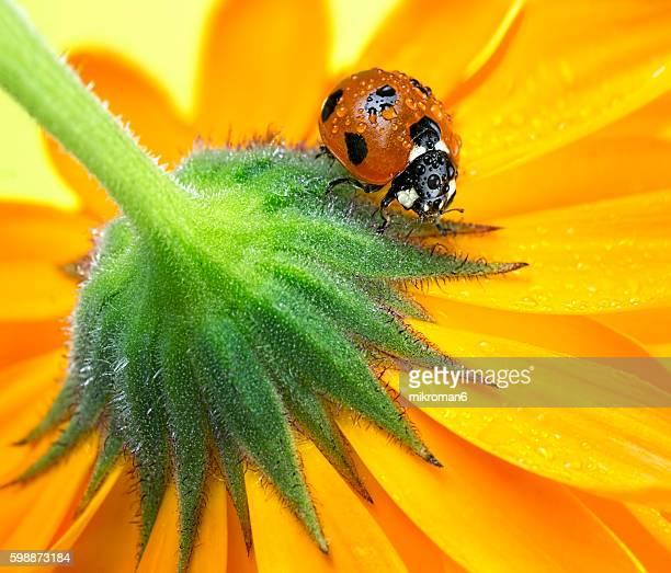 Ladybug on calendula flower