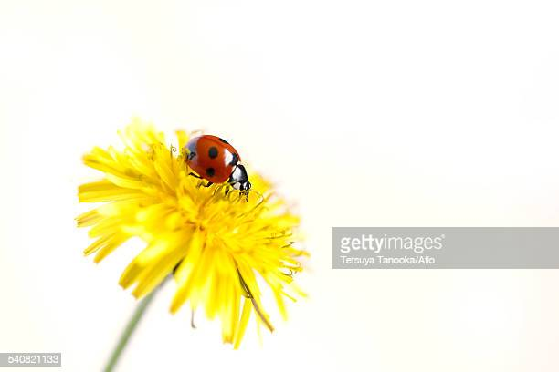 Ladybug on Dandelion