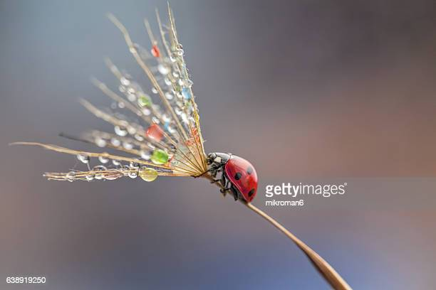 ladybug on dandelion - seven spot ladybird stock pictures, royalty-free photos & images