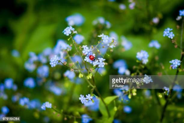 ladybug on forget-me-nots, edinburgh, lothian, scotland, uk - forget me not stock pictures, royalty-free photos & images