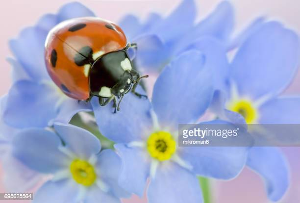 ladybug on forget-me-nots flowers - seven spot ladybird stock pictures, royalty-free photos & images