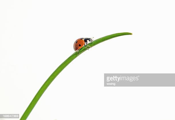 coccinella su erba - coccinella foto e immagini stock