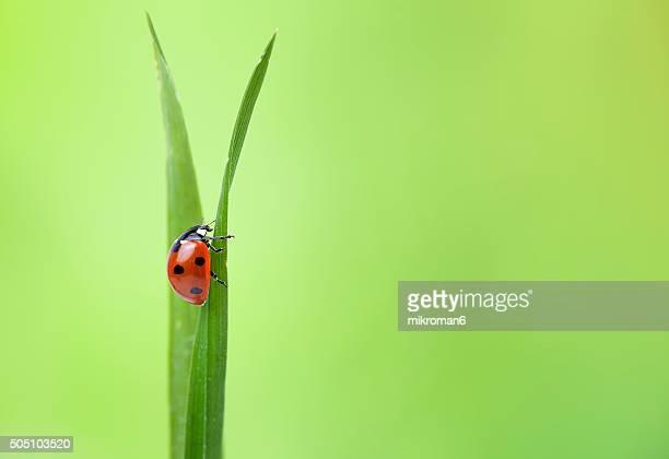Ladybug on grass