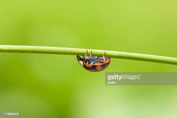 ladybug on grass stem