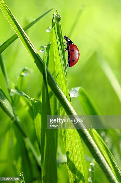 Ladybug on grass with Drops