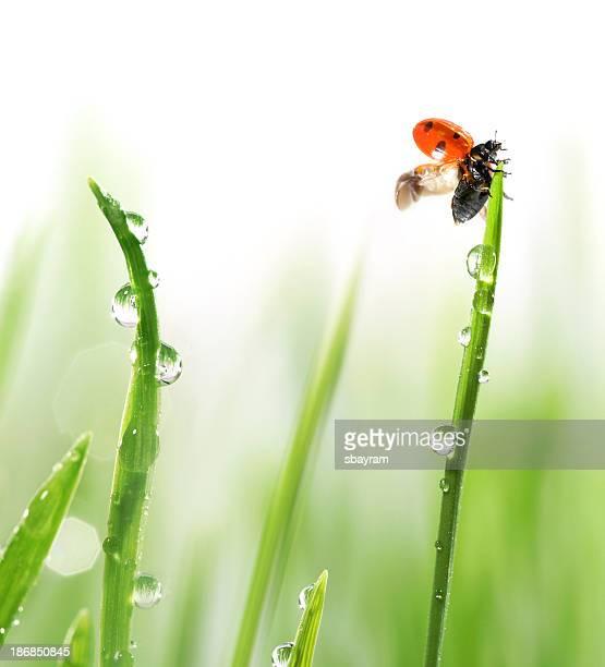 coccinella su erba verde - coccinella foto e immagini stock