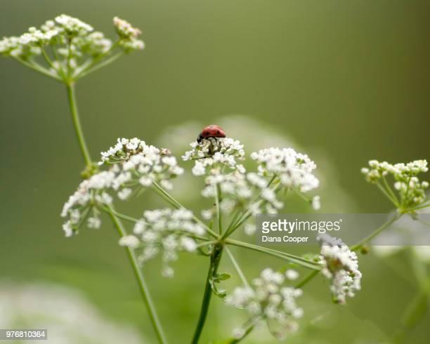 ladybug on hemlock - hemlock tree stock pictures, royalty-free photos & images