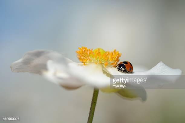 A Ladybug on Japanese anemone