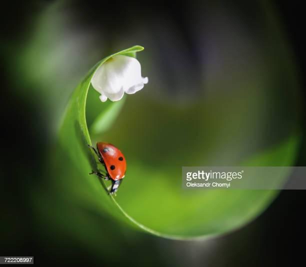 ladybug on leaf near flower - ladybird stock pictures, royalty-free photos & images