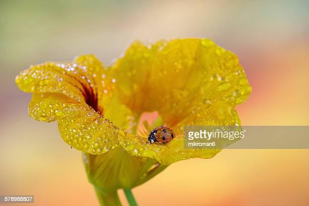 Ladybug on nasturtium flower