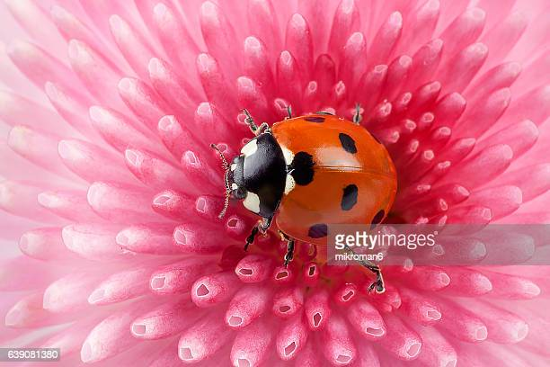 ladybug on pink daisy flower - ladybird stock pictures, royalty-free photos & images