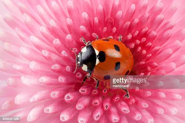 Ladybug on pink daisy flower