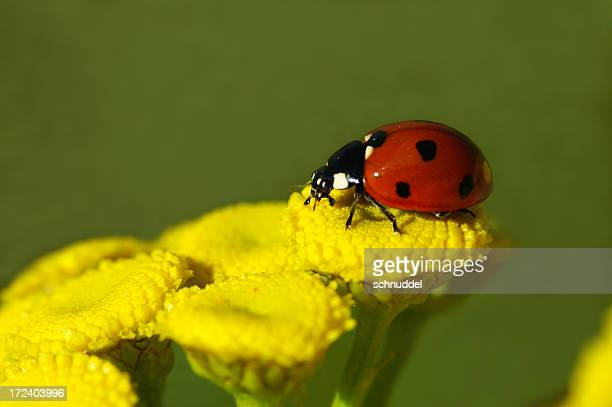 ladybug on rainfarn - tansy stock pictures, royalty-free photos & images