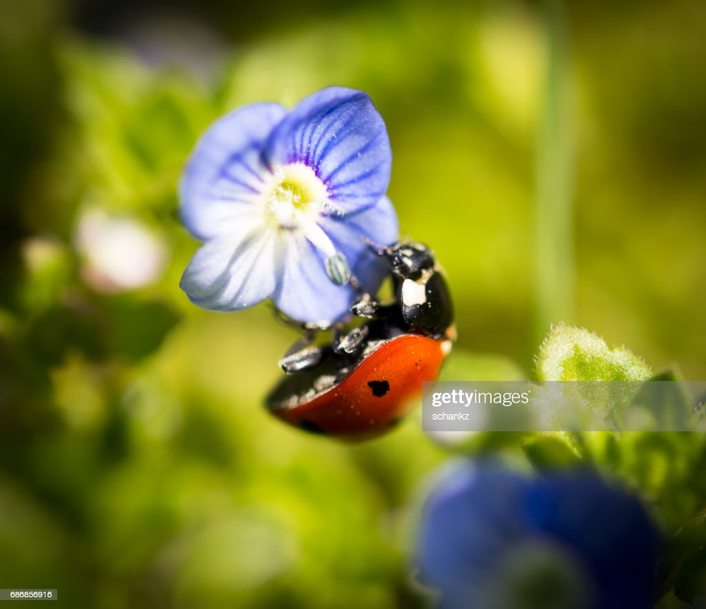 Ladybug on small blue flowers in nature stock photo getty images ladybug on small blue flowers in nature stock photo izmirmasajfo