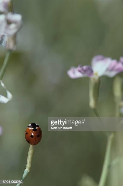 ladybug on stem - sirulnikoff stock pictures, royalty-free photos & images