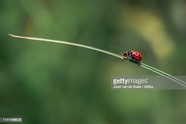 Ladybug on the blade of grass