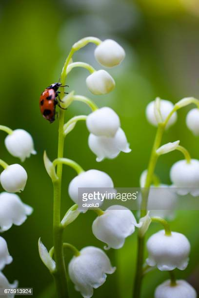 ladybug on the lily of the valley - mughetti foto e immagini stock