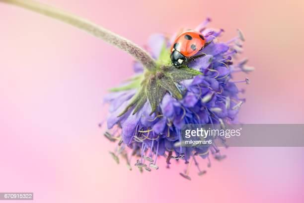Ladybug on violet wildflower