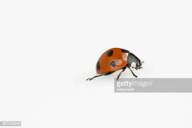 ladybug on white background - seven spot ladybird stock pictures, royalty-free photos & images
