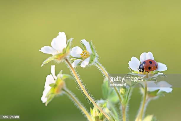 ladybug on wild strawberry flowers - seven spot ladybird stock pictures, royalty-free photos & images