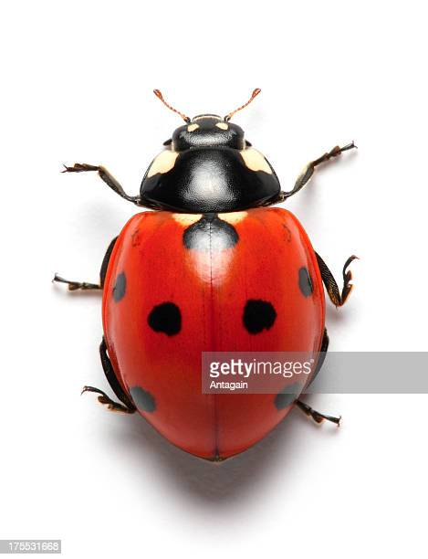 ladybug - ladybug stock pictures, royalty-free photos & images