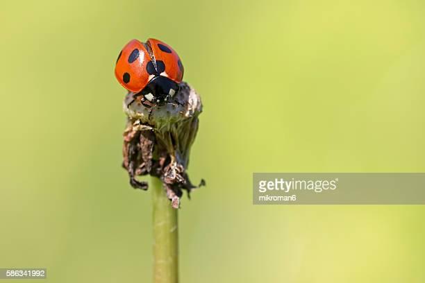 ladybug - feuille de pissenlit photos et images de collection