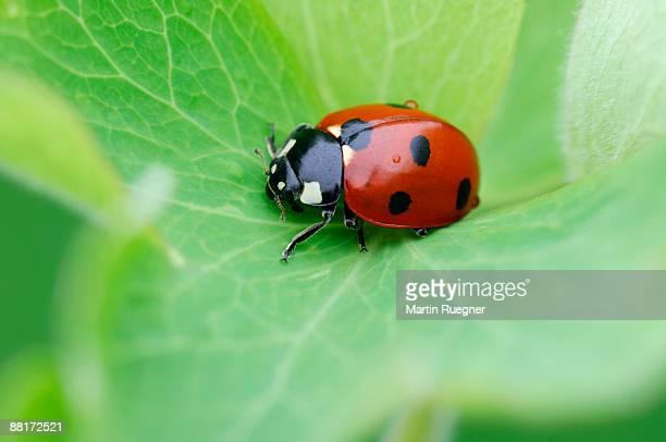 ladybug - coccinella foto e immagini stock