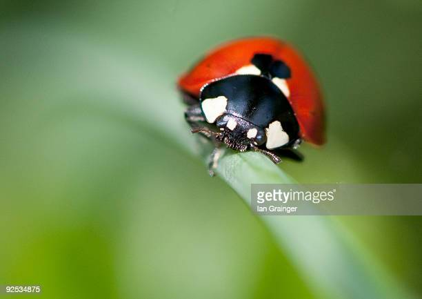 ladybug - ian grainger stock pictures, royalty-free photos & images