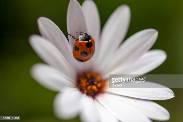 ladybug sits on a flower - marguerite daisy stock photos and pictures